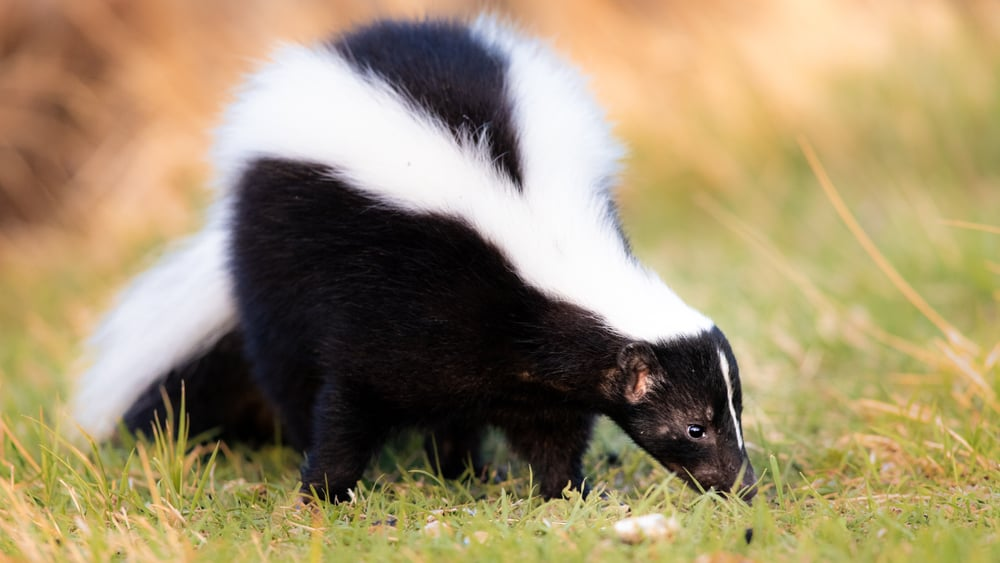 Stop Skunks from Digging Up Lawn