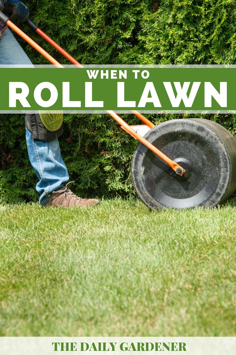 best time to roll lawn 3