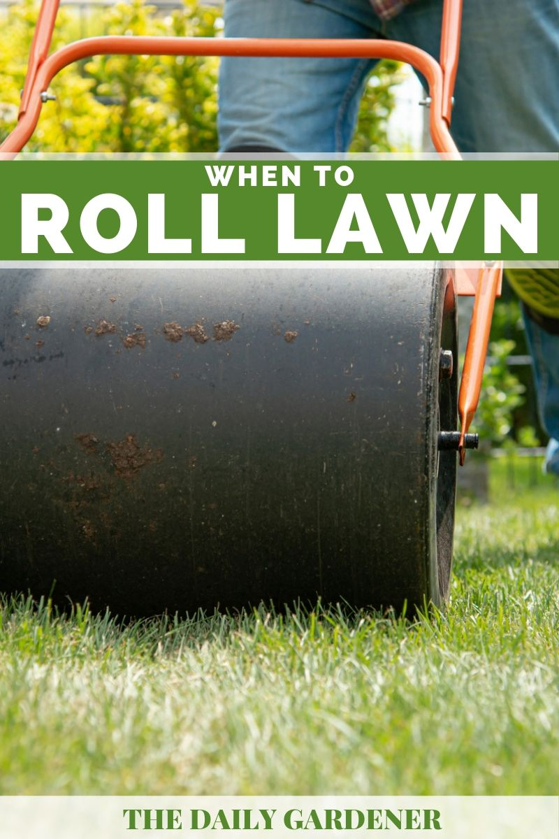best time to roll lawn 4
