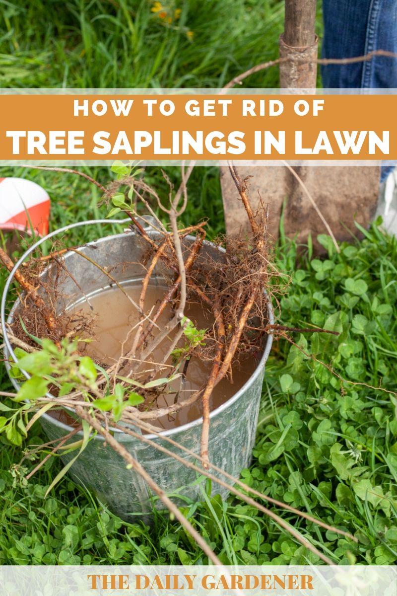 get rid of tree saplings 1