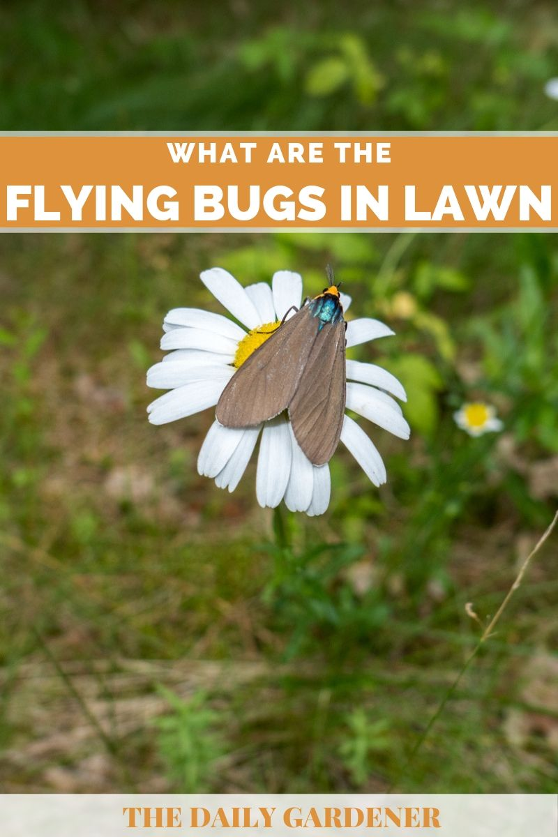 lawn flying bugs 1
