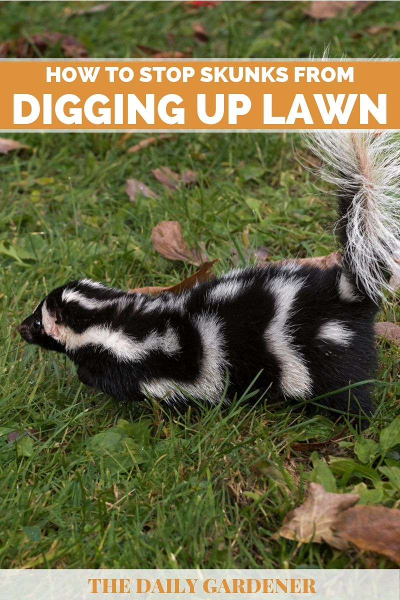 How to Stop Skunks from Digging Up Lawn? - The Daily Gardener