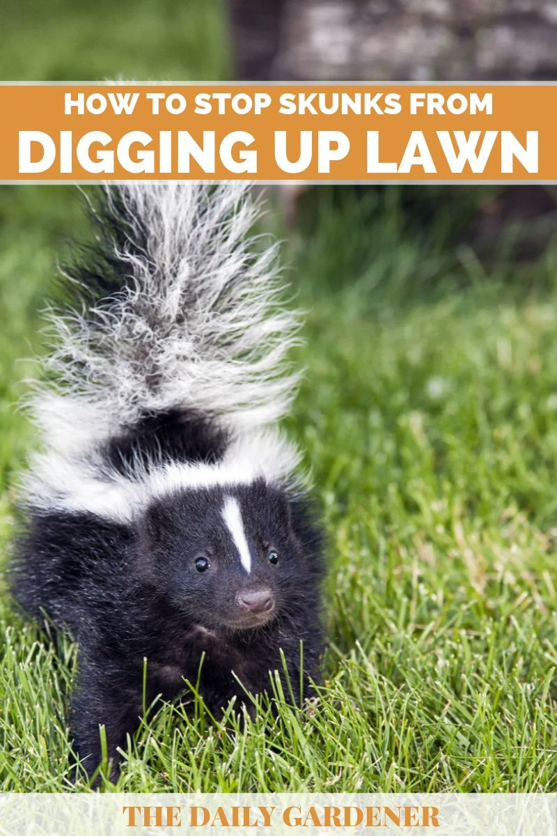 stop skunks digging up lawn 4