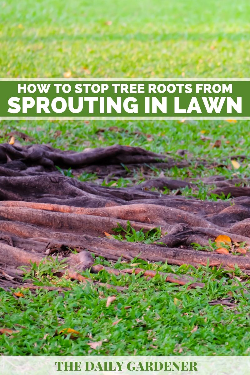 stop tree roots in lawn 1