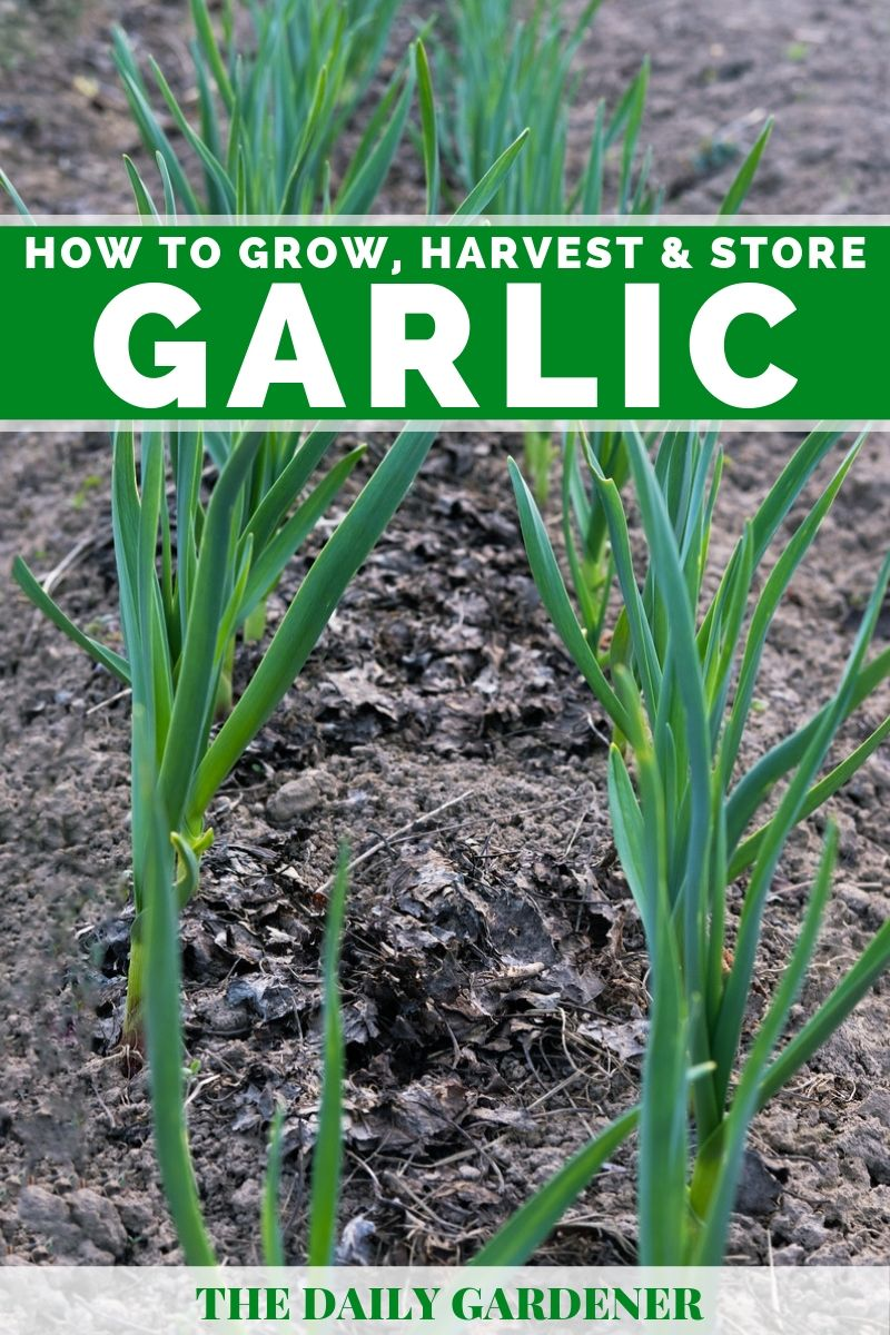 Grow Garlic 1