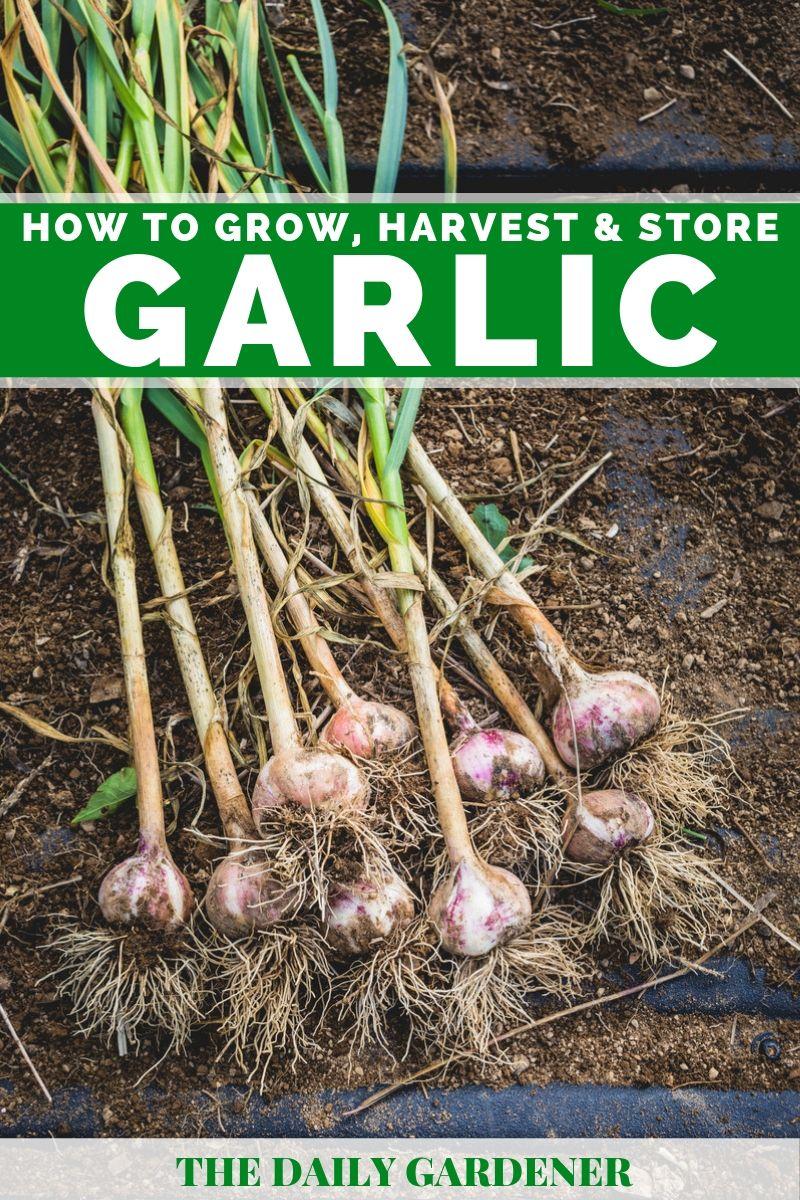 Grow Garlic 2