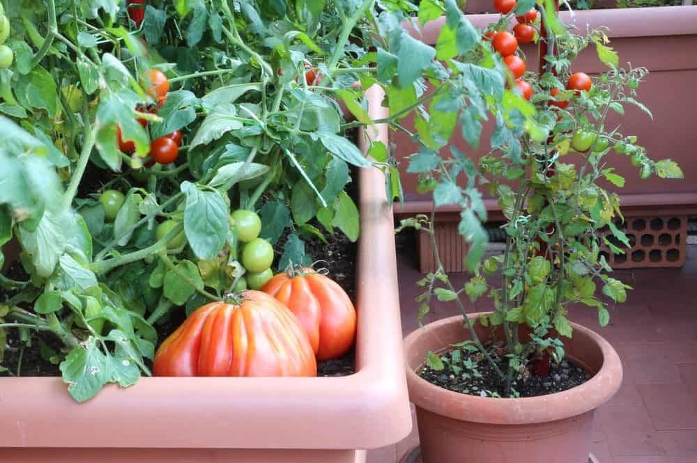 How To Grow Vegetables In Containers The Daily Gardener