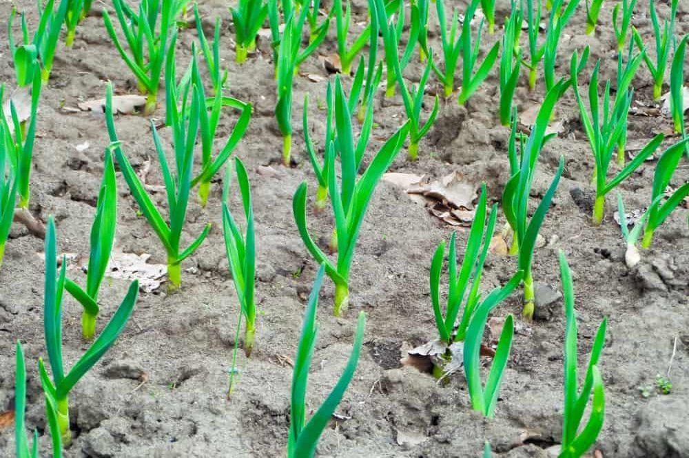 How to Grow Garlic in Your Garden