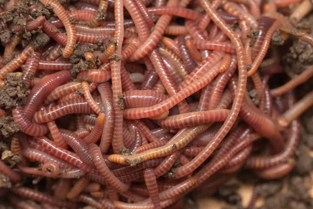 Types Of Worms For Composting