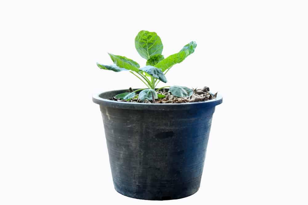 grow Kale in pot