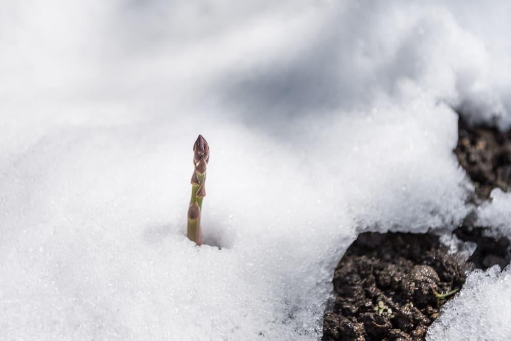 Asparagus Temperature