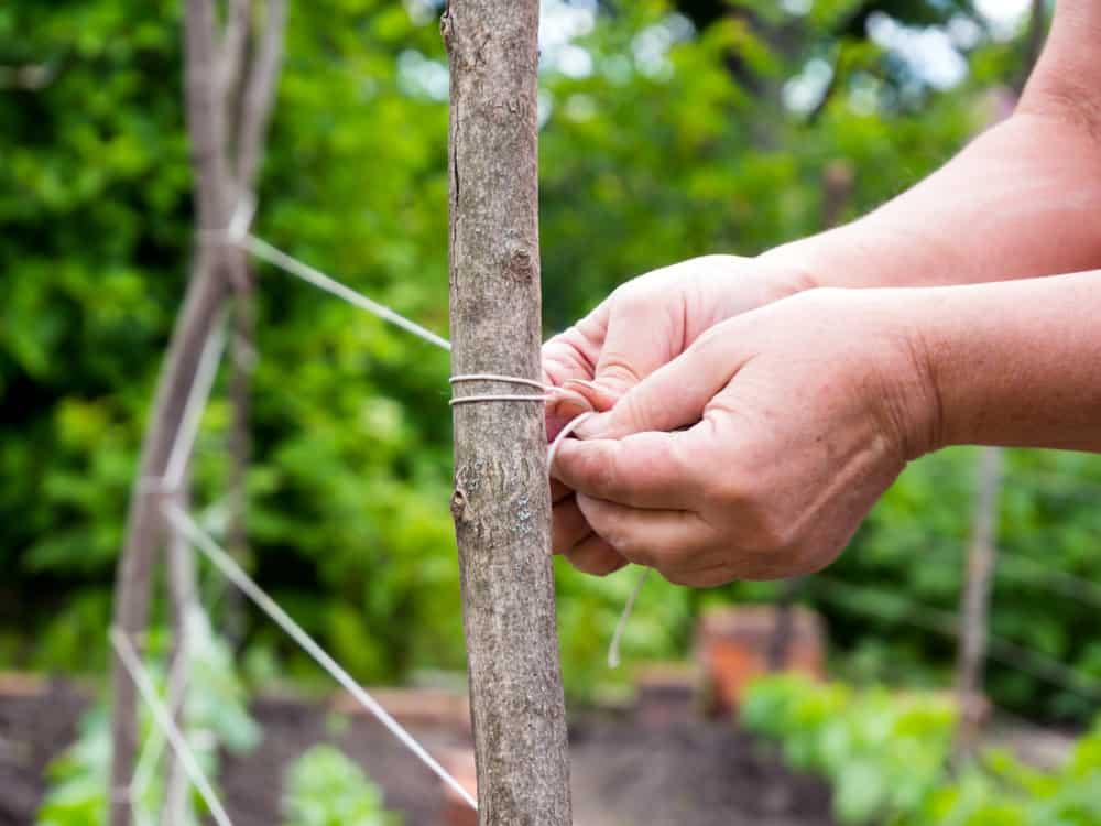 Asparagus Trellising