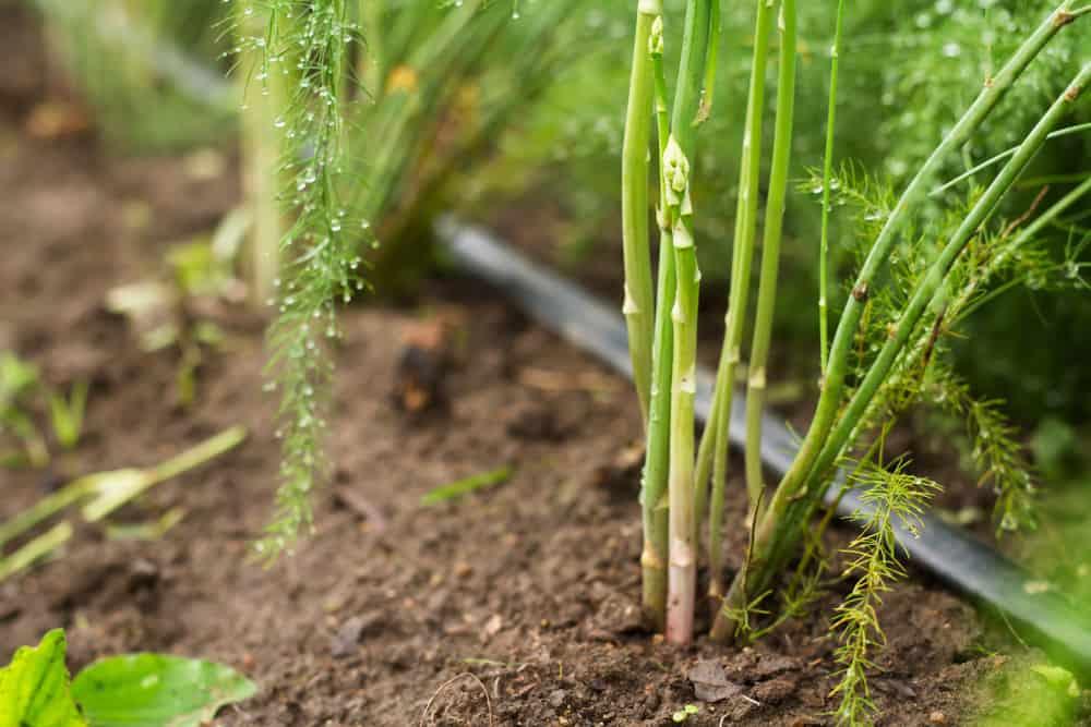 Asparagus Water 1