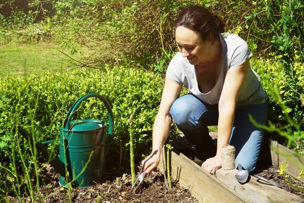 Asparagus Weeding
