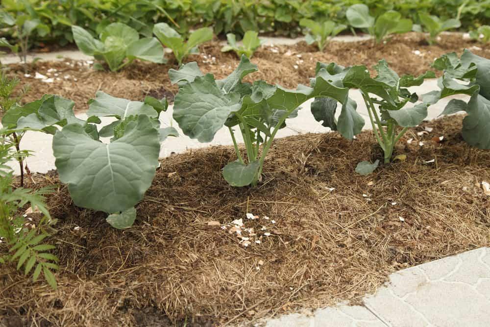 Broccoli mulch