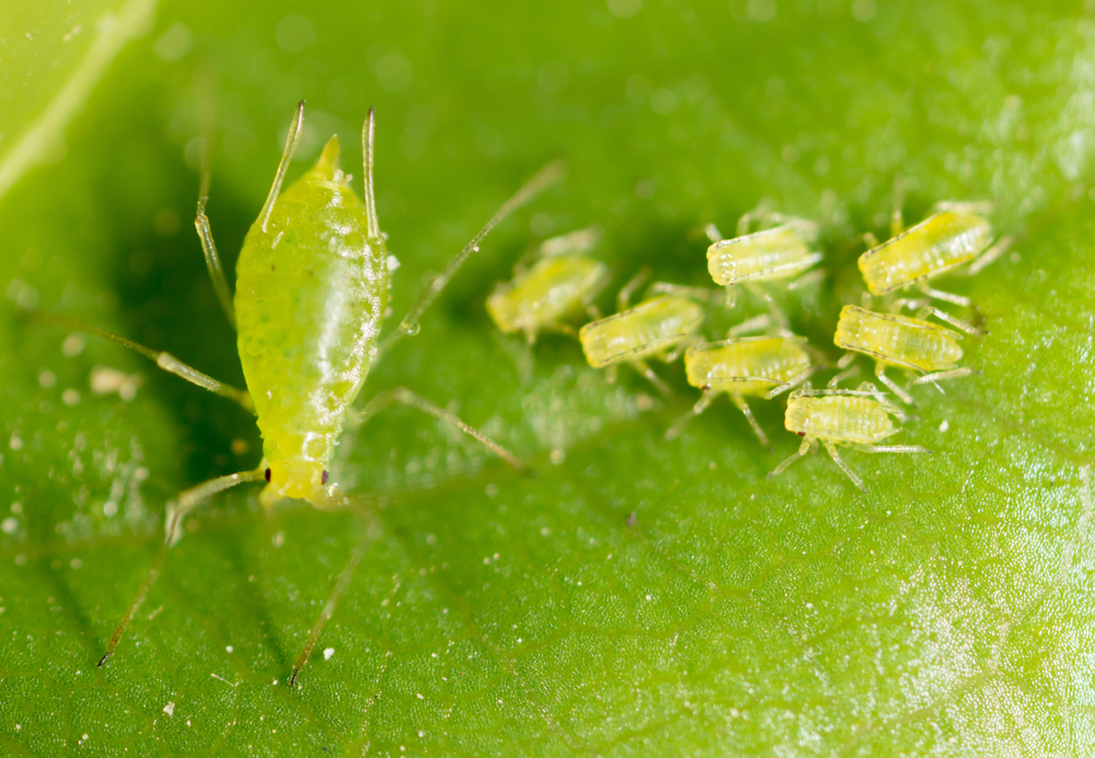 Chili Pepper Aphids