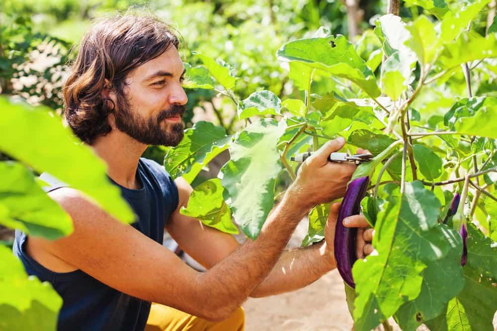 Eggplants Harvesting