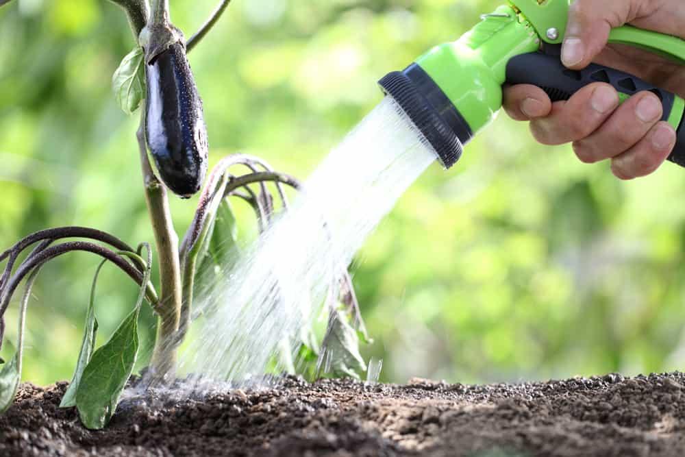 Eggplants Watering