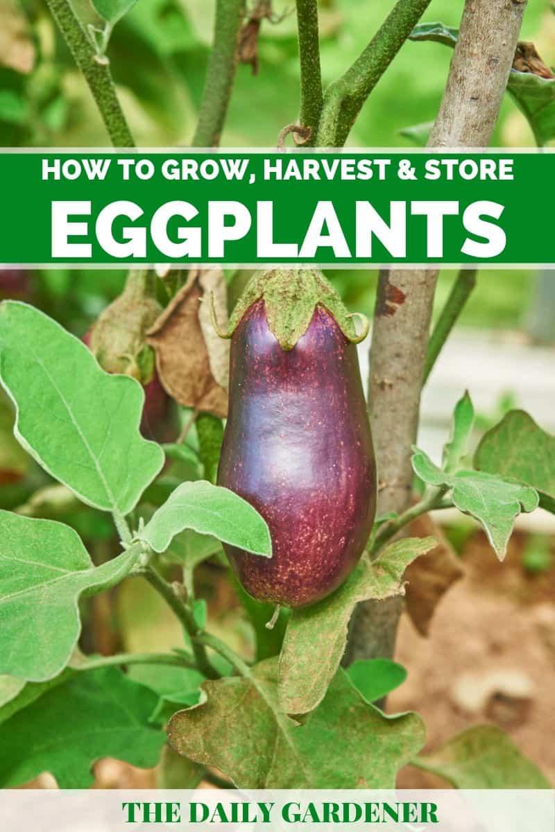 Grow Eggplants 1