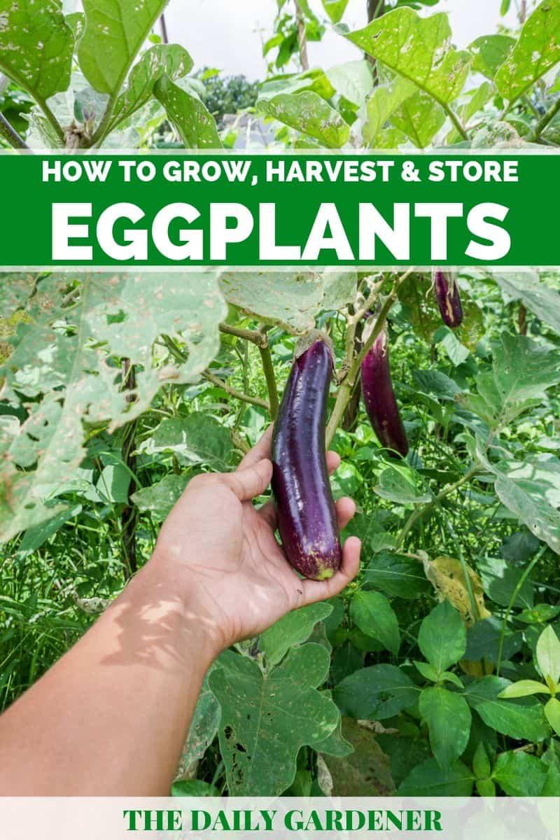 Grow Eggplants 2