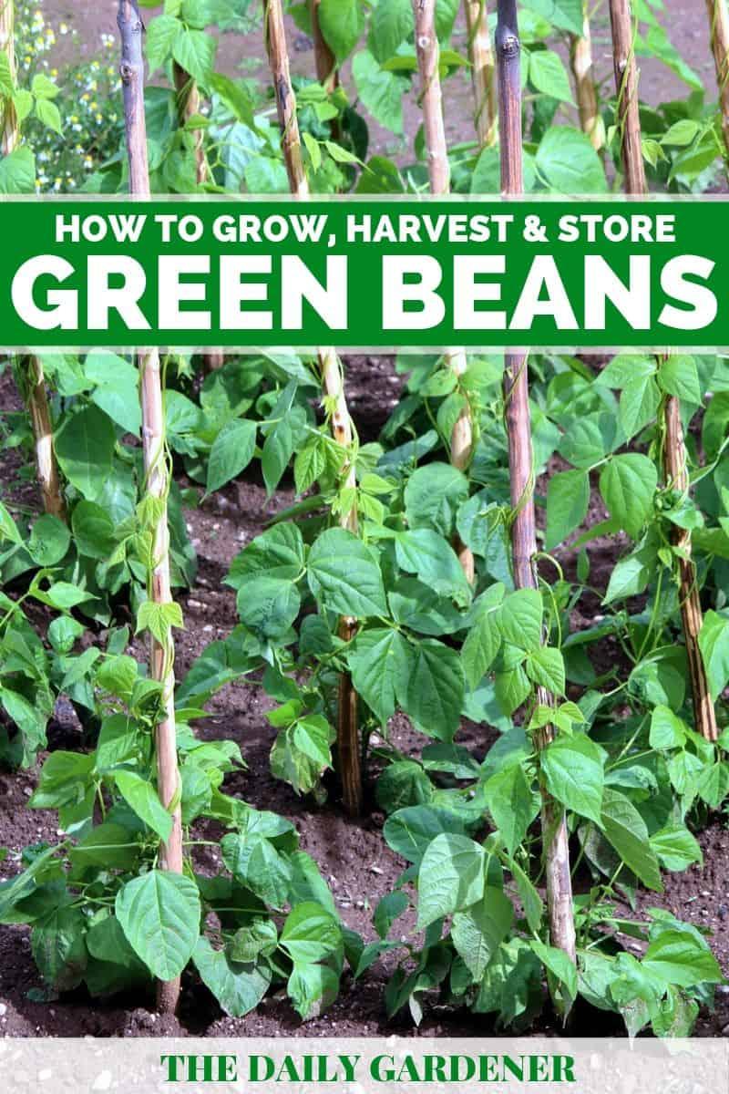 Grow Green Beans 5