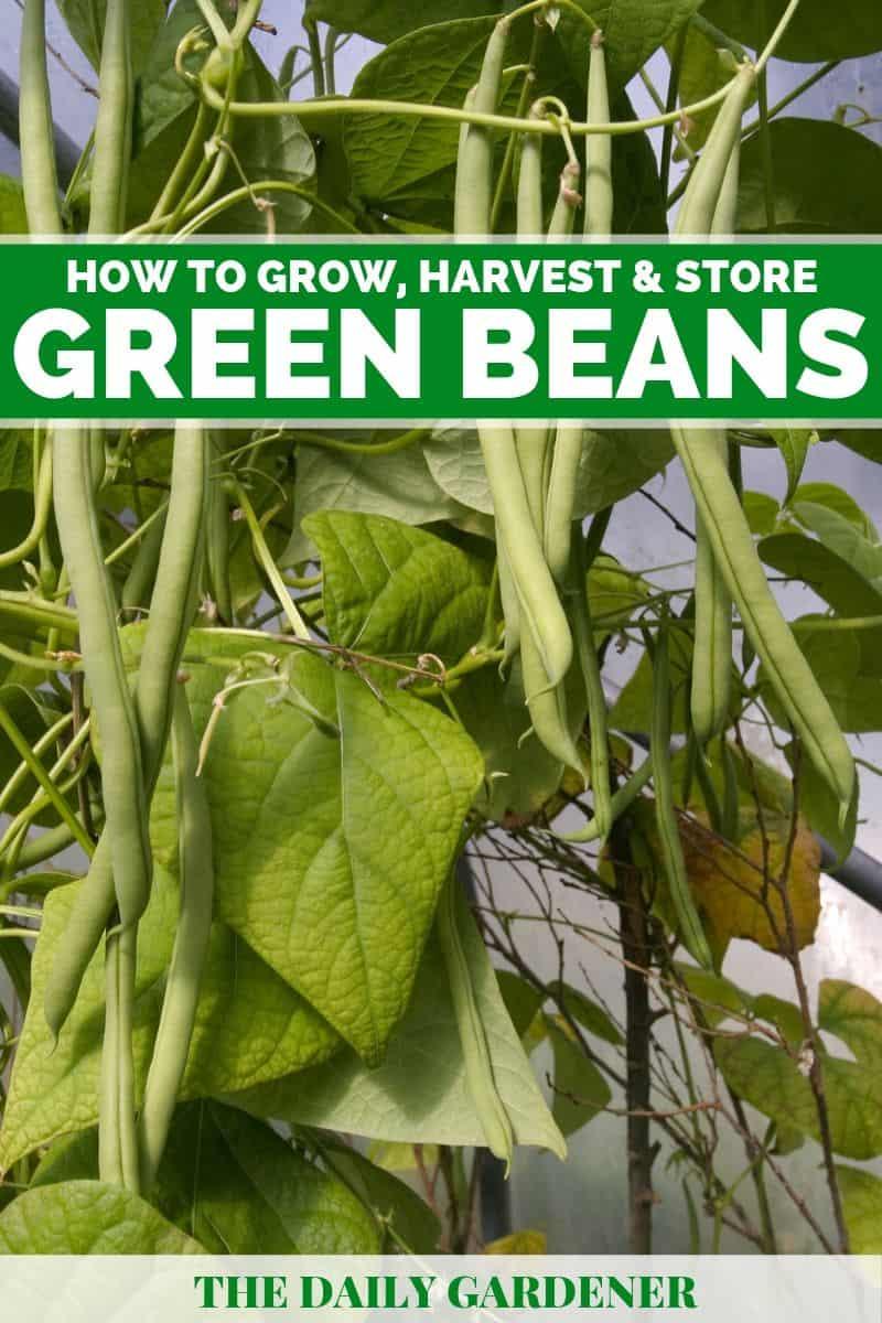 Grow Green Beans 6