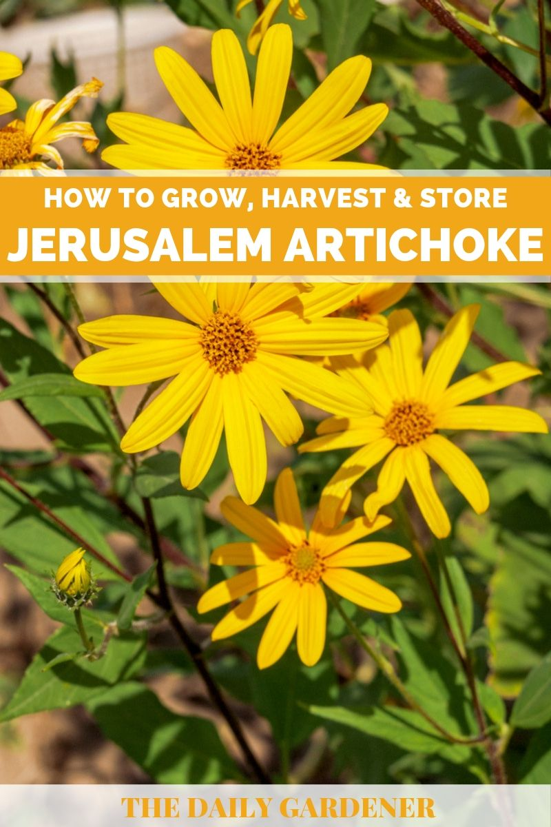 Grow Jerusalem Artichoke 1
