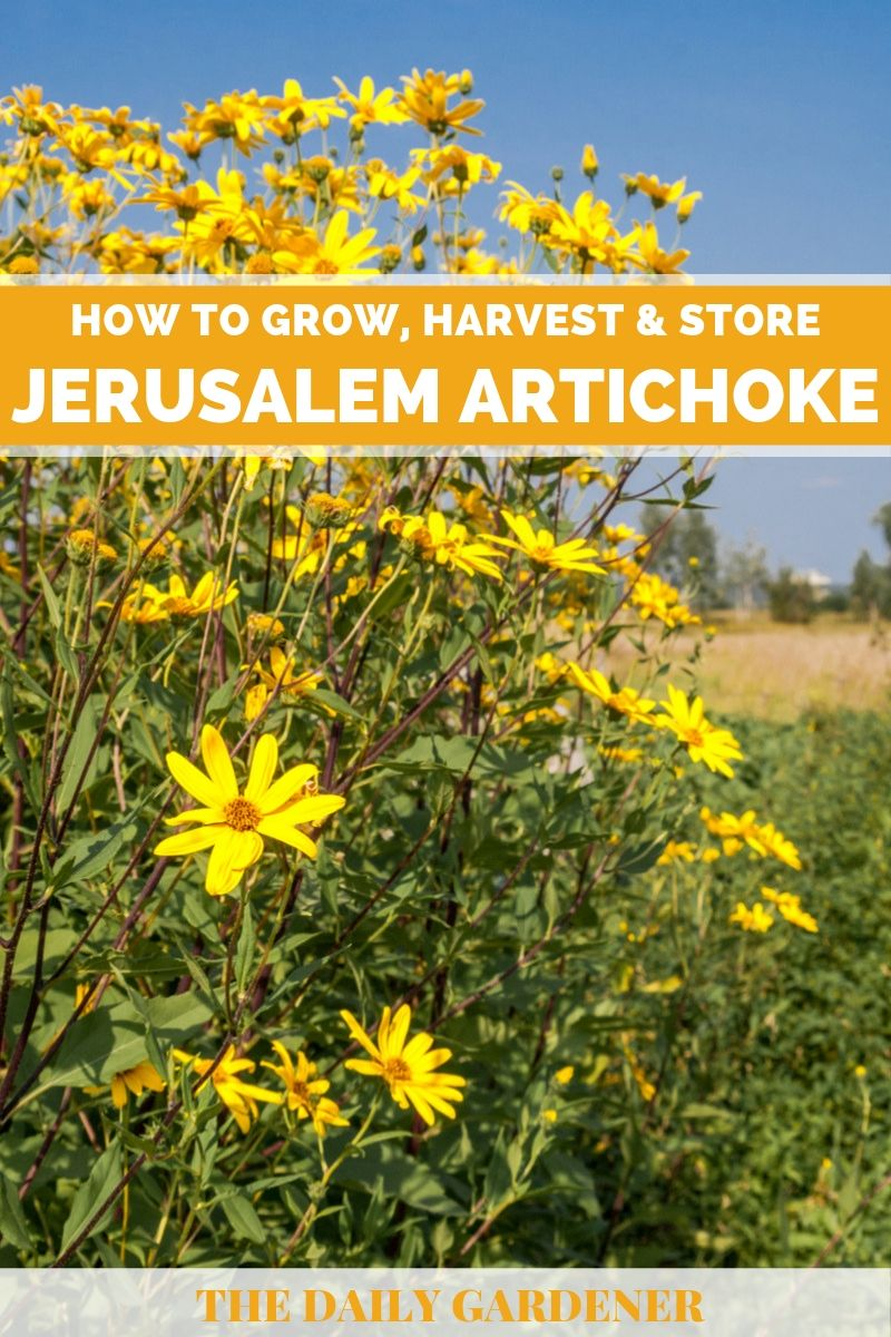Grow Jerusalem Artichoke 3