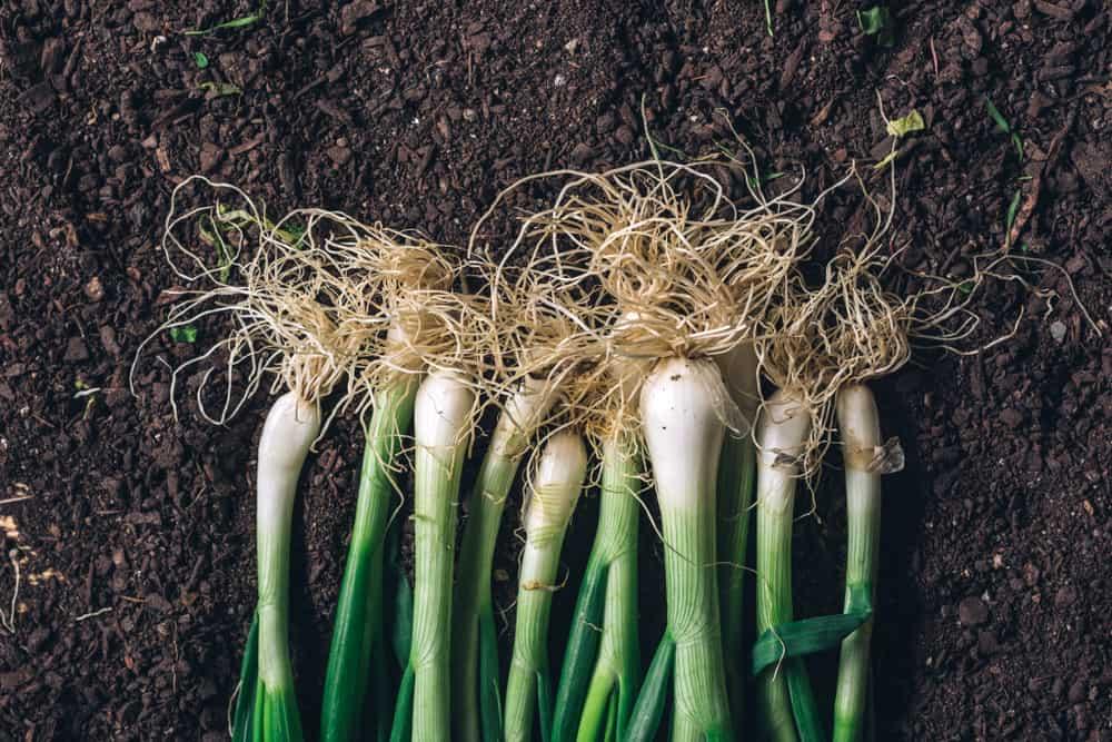 Grow scallions 1
