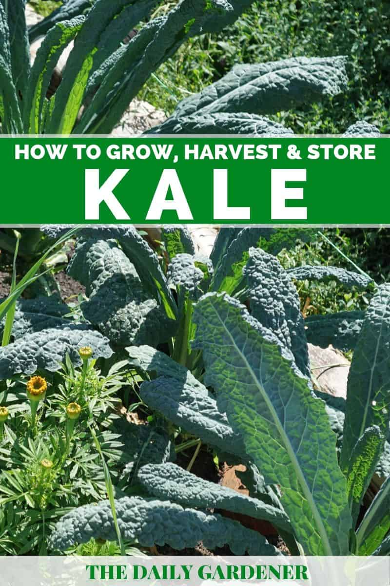 Growing Kale 1