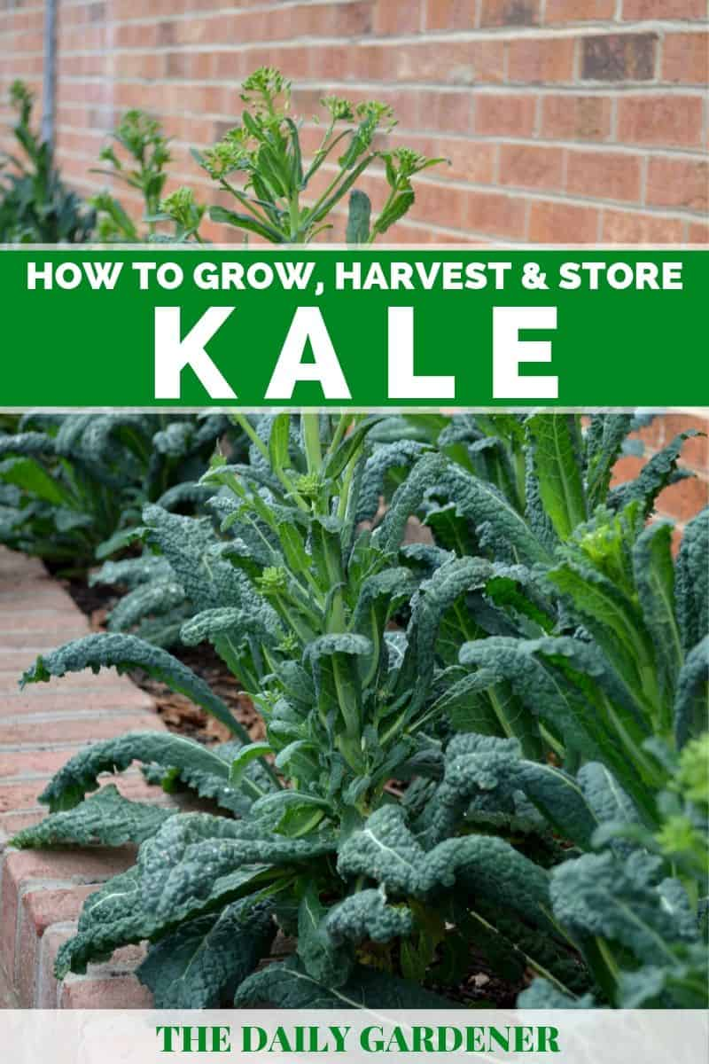 Growing Kale 2