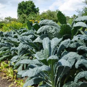 Growing Kale An Incredible Source of Carotenoids