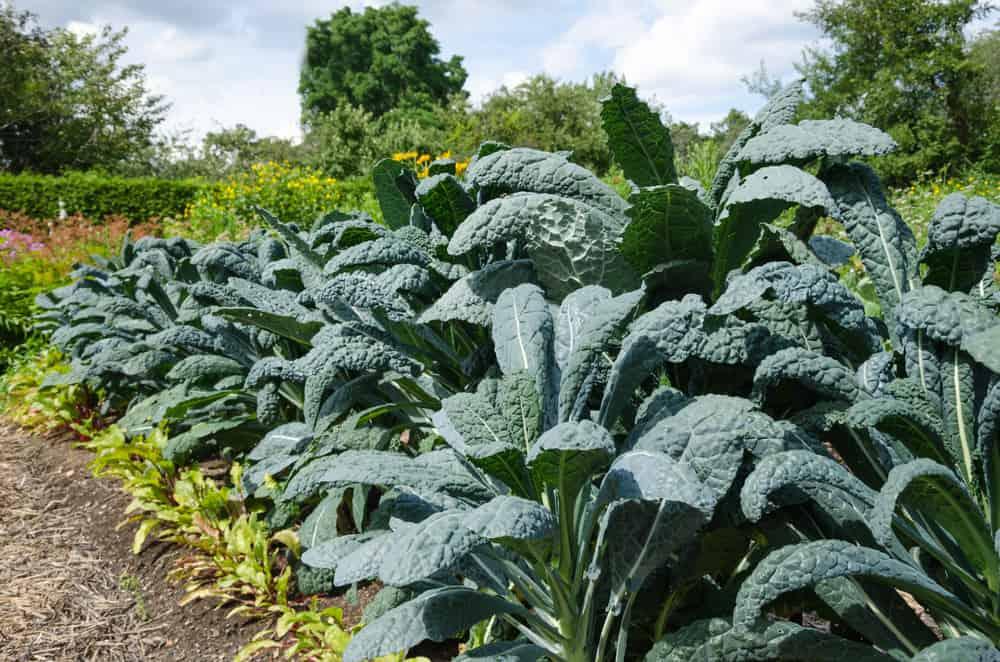 Growing Kale An Incredible Source of Carotenoids