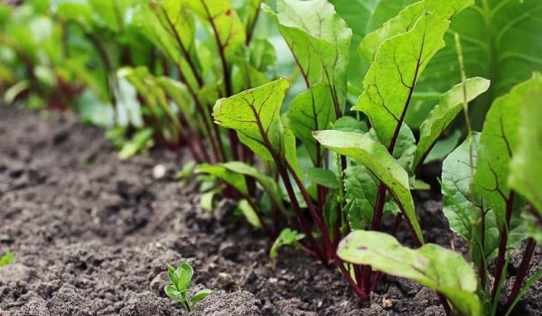 How to Grow, Care, and Harvest Beets in Your Garden
