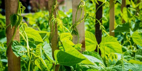 How to Grow Green Beans in Your Garden?