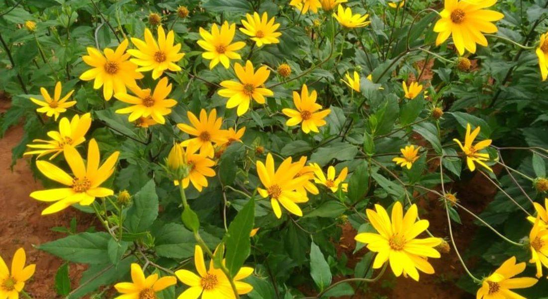 How to Grow Jerusalem Artichoke Plant in Your Garden?