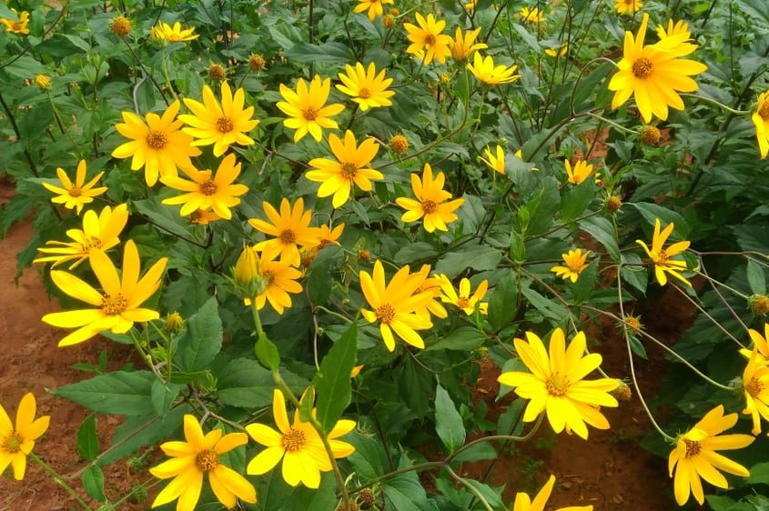 How to Grow Jerusalem Artichoke Plant in Your Garden