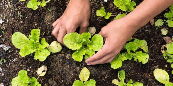 Growing Leaf Lettuce: An Oldest Salad You Eat Everyday