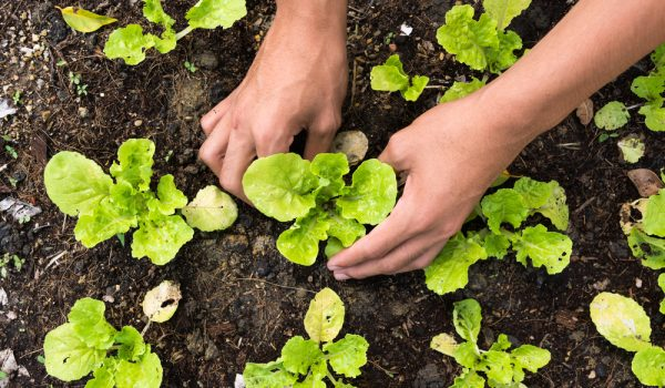 How to Grow Leaf Lettuce in Your Garden