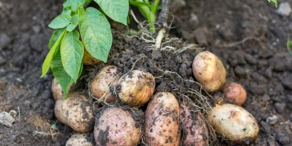How to Grow and Harvest Potatoes in Your Garden?