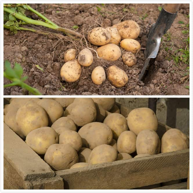 How to Harvest and Storage Potatoes