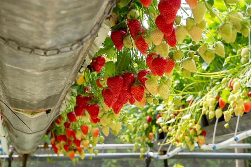 Hybrid Plants