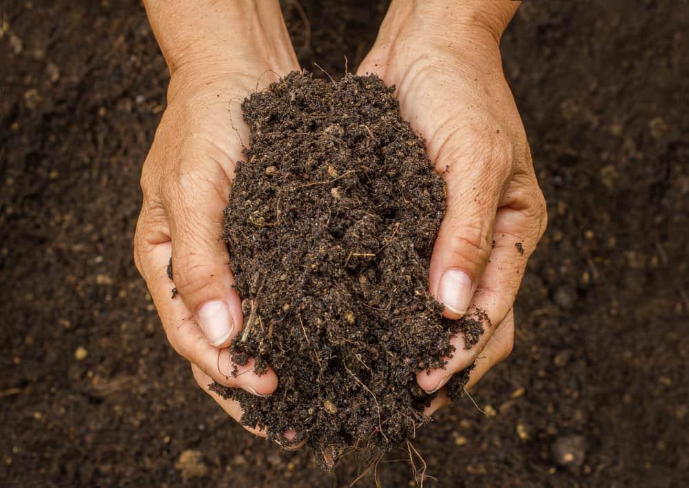 Jerusalem Artichokes Prepare The Soil