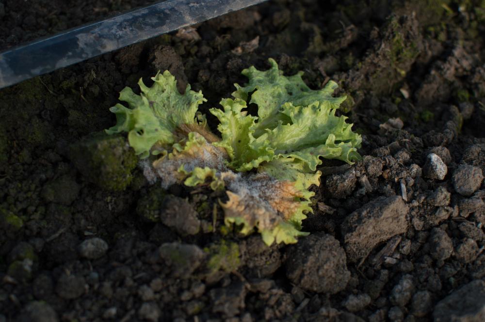 Lettuce rot