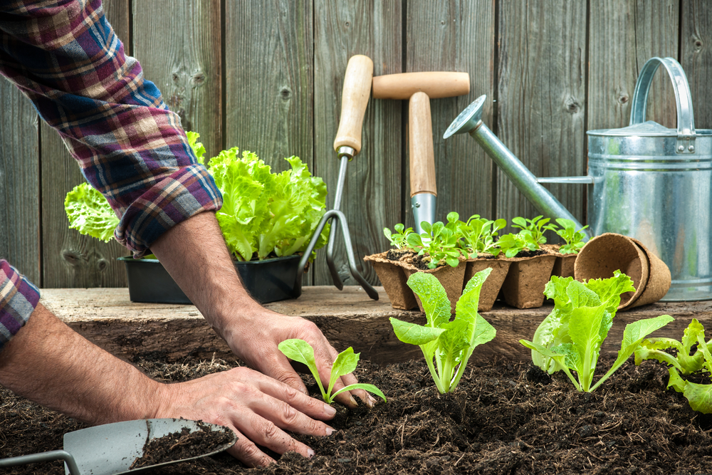 Planting Lettuce In Your Garden