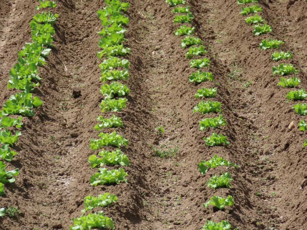 Row Cropping
