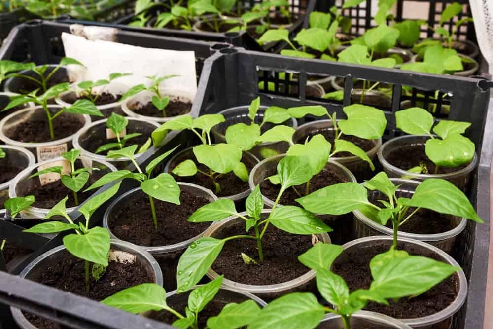 Seeds preparation
