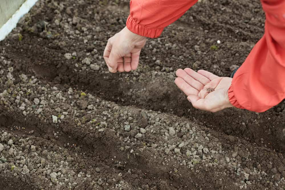 Sow beets seeds