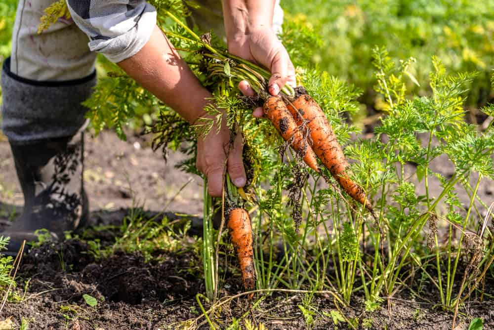 Succession Planting 1