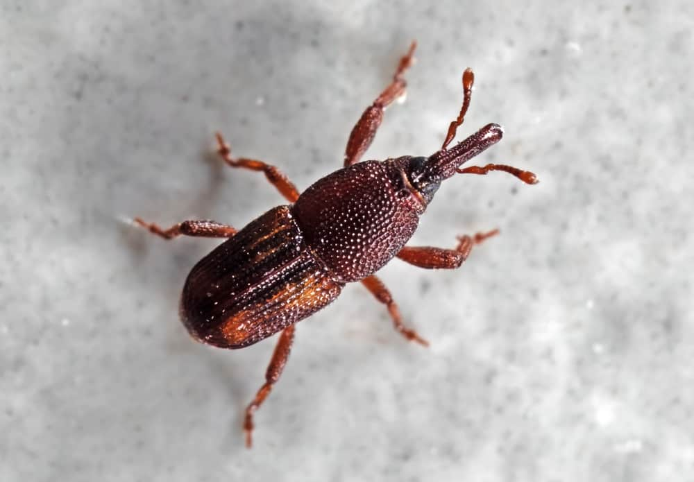 Sweet potato weevil
